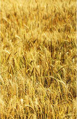 小麦田产品
