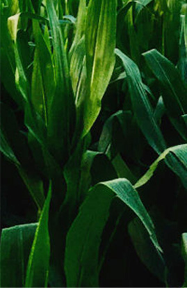 玉米田产品
